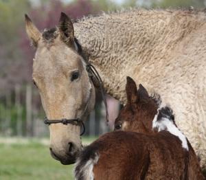 Pure Bashkir Curly Horses