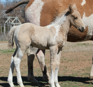 Savannah's colt Sequoyah Nabesna MayB's colt 571